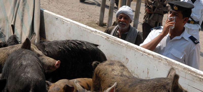 Abattage de Porcs en Egypte